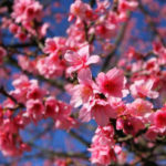 cerejeira---buraco-1-2